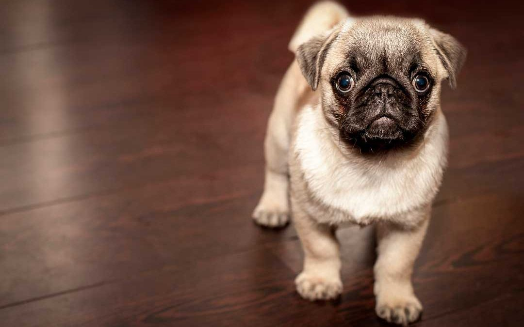 How to get old dog poop stains out of carpet